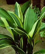 Kukoricalevél kezdő növénytartóknak