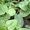Könnyen fejünkre nő a kúszó filodendron