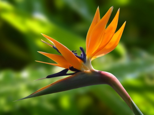 blossom-bloom-strelitzia-flowers-60899.
