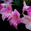 Dézsás növények teleltetése