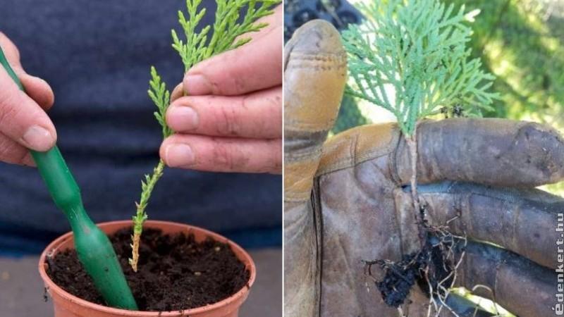 Örökzöld növények dugványozása