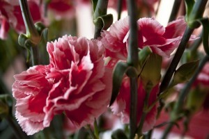 A szegfű (Dianthus)