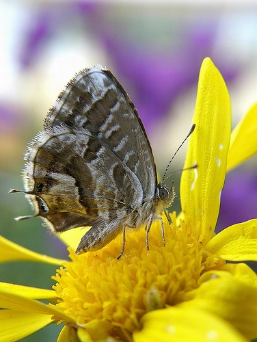 cacyreus-marshalli-lepke