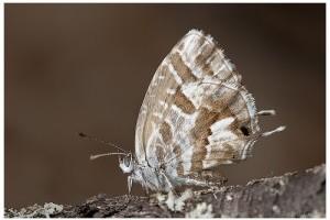 Már Ausztriában a muskátli boglárka (Cacyreus marshalli)