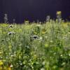 A mulcsozásnál is hasznosabb a zöldtrágyázás élő növényekkel