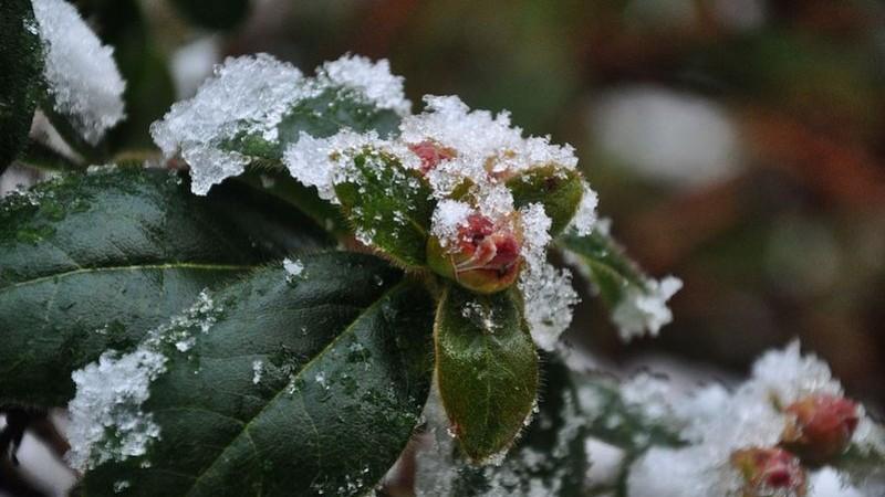 Az örökzöldek téli gondozására figyeljünk oda!