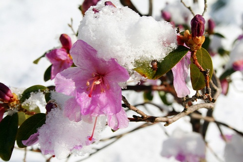 rododendron-hotakaro