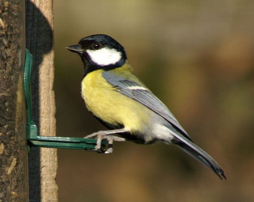 parus-major-szencinege