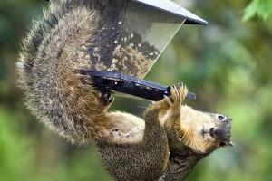 Mókusok támadják a madáretetőket!