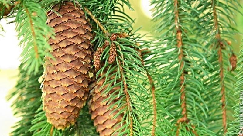 A lucfenyő és rokonai (Picea)