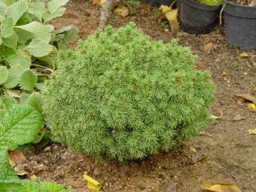 Picea-abies-Little-Gem