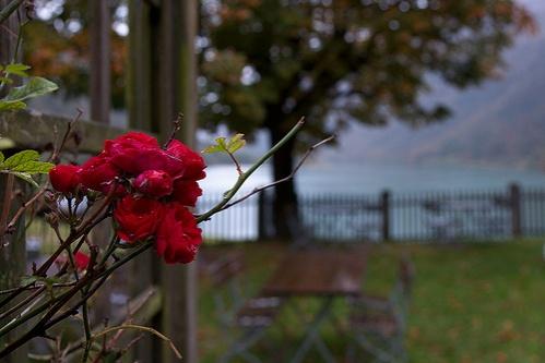 rozsa-oktober