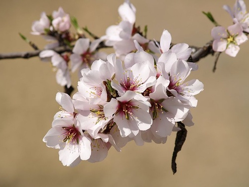 mandula-prunus-dulcis