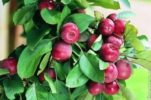 Kicsiny terek gyümölcsfái