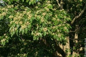 Japán mazsolafa - az alkoholisták fája