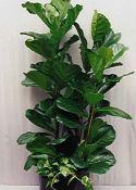 LANTLEVELŰ FIKUSZ (Ficus lyrata)