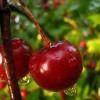 Tűrőképes csonthéjas gyümölcsfajok