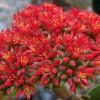 Légcsavaros pozsga (Crassula perfoliata var. falcata)