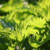 Hatékony zöldtrágyázás csalánkivonattal