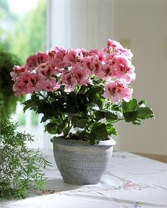 NAGYVIRÁGÚ MUSKÁTLI (Pelargonium domesticum)