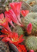 Hogyan bírjuk virágzásra a törpekaktuszt?