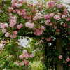 Legszebb hely a kertben, ahol a futórózsa pompázik