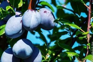 A szilvafa metszése tavasszal