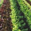 Tépő- és metélősaláta  (Lactuca sativa var. secalina)