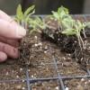 Növények tűzdelése és kiültetése
