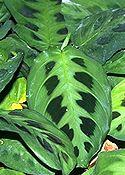 NYÍLGYÖKÉR (Maranta leuconeura erythroneura)