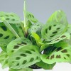 Kedvenc virágunk a Nyílgyökér (Maranta leuconeura erythroneura)