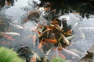 Kerti tóba nem telepíthető halfajok