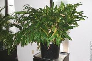 Malabári kardamom (Elettaria cardamomum)