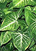 NYÍLLEVÉL (Syngonium podophyllum)