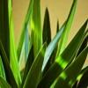 Yucca: az univerzális szobadísz