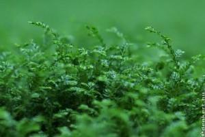 Dél-afrikai csipkeharaszt (Selaginella kraussiana)