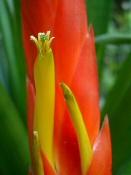 PIKKELYVIRÁG (Vriesea splendens)