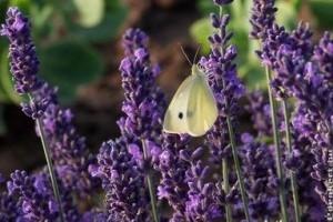 Rovarűző illatok, növények