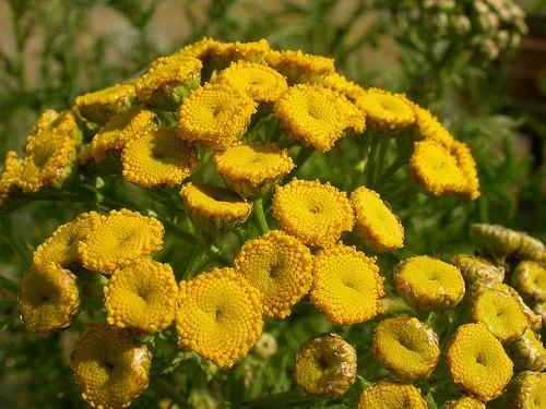 tanacetum-vulgare