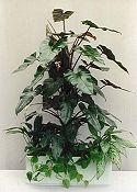 PIROSLÓ FILODENDRON (Philodendron erubesceus)