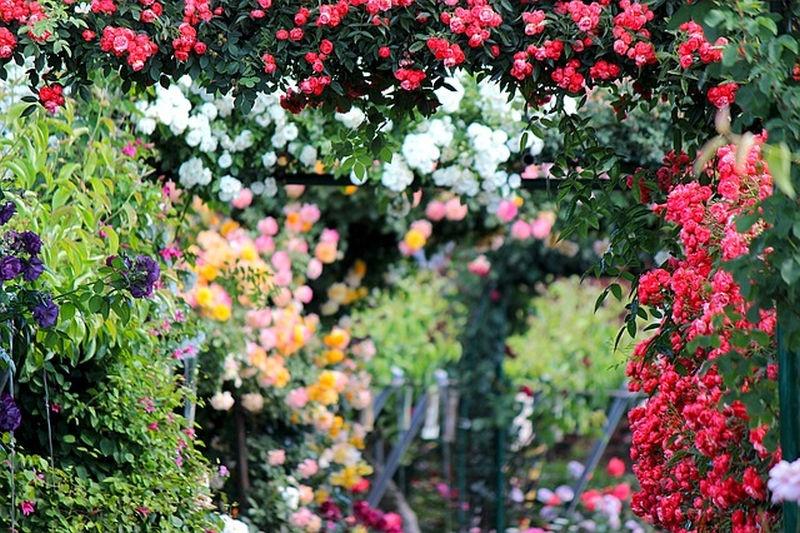 rozsa_kertben