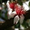 Brazil guava, mirtuszdió (Feijoa/Acca Sellowiana)
