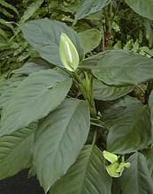 Sötét sarkok növénye a rákvirág