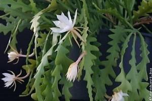 Karéjos levélkaktusz (Epiphyllum anguligerum)