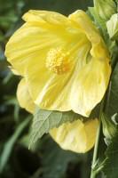 Selyemmályva a teraszt virágba borítja