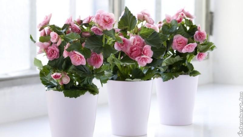 Nőnapra: pompás ajándék egy virágzó begónia