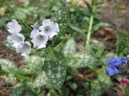 pulmonaria-saccharata-sissinghurst-white