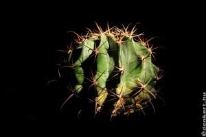 Ördögnyelvkaktusz (Ferocactus latispinus)