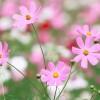 Helykitöltő egynyári virágok