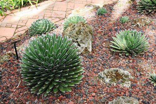 kiralynoi-agave